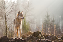Wolf Standing On Rocks In Forest