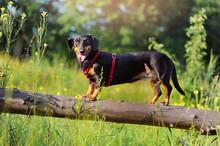 Dachshund Dog Balancing On The...