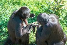 Spider Monkeys Eating On A Sunny Day At The John Ball Zoo