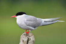 A Solitary Adult Arctic Tern (...