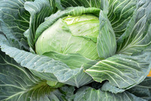 Giant Head Of Alaskan Cabbage
