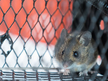 Close-up Of Rat In Cage