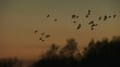 Geese flying low in the sunset on migration England