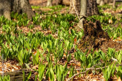 Wild Ramps - wild garlic ( Allium tricoccum), commonly known as ramp, ramps, spring onion,  wild leek, wood leek Fotobehang