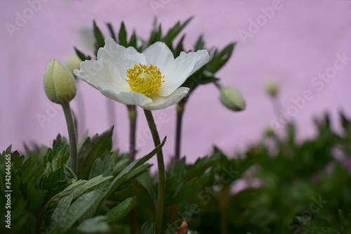 Photo Close-up of anemone flower and unbroken buds.