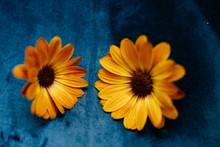 Orange Cape Daisy On Blue Velvet Backround; Genus Osteospermum