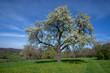 Großer blühender Birnbaum im Frühling in einer Wiese mit Löwenzahn in ländlicher Landschaft