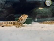Lizard Resting On Sand In Tank