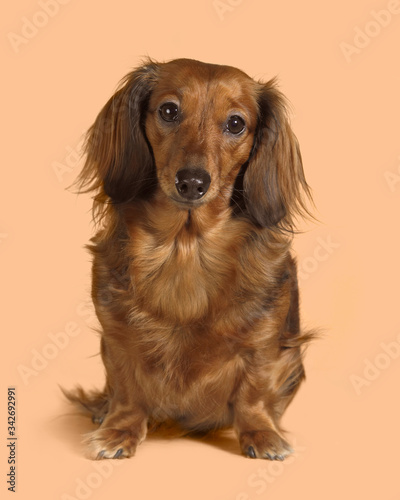 long-haired Dachshund dog portrait Wallpaper Mural