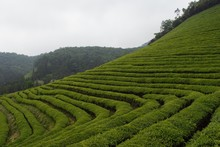 Green Tea Field In Boseong, So...