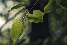 Fresh Linden Leaves