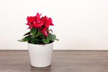 Indoor Cyclamen Plant With Red...