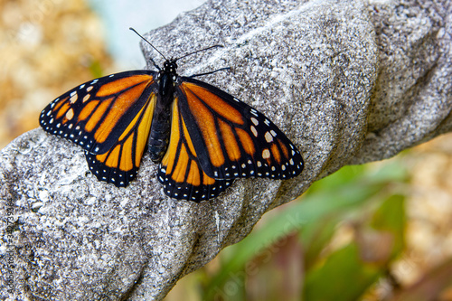 Photo Newly hatched monarch  butterfly