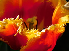 Orange, Yellow Tulip Close-up ...