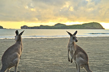 Kangaroo During Sunrise At Cap...