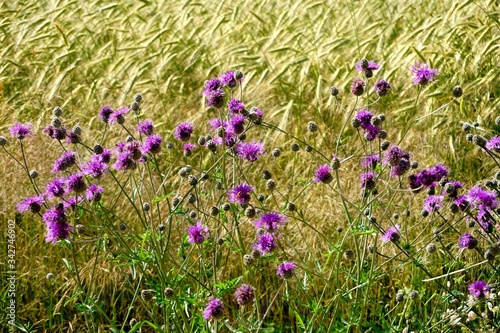 Fototapeta Spear thistle flower and rye field in the background obraz na płótnie