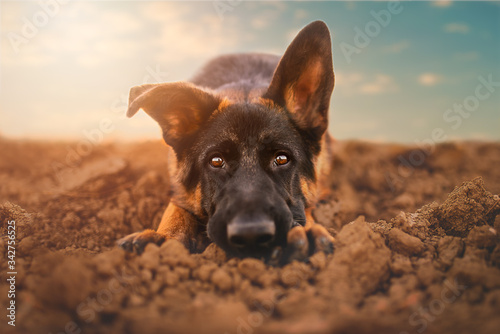 Fototapeta German shepherd puppy  in natural environment