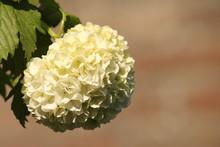 Close-up Of Snowball Bush Flower