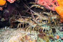 Lobsters Grouped Under Neath A Rock