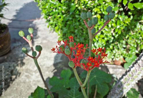 Fototapeta Gout Stalk ,Guatemalan Rhubarb ,Bottleplant shrub (Jatropha podagrica) is caudiciform perennial herb use as succulent ornamental plant has swollen caudex ,bright coral red flower obraz