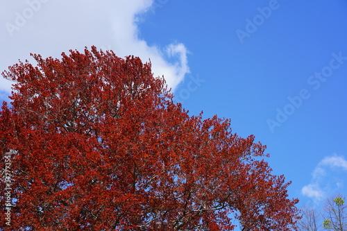 Obraz na plátně Krone einer Buche mit roten Blättern, Wolke, blauer Himmel, Sonnenschein, freie