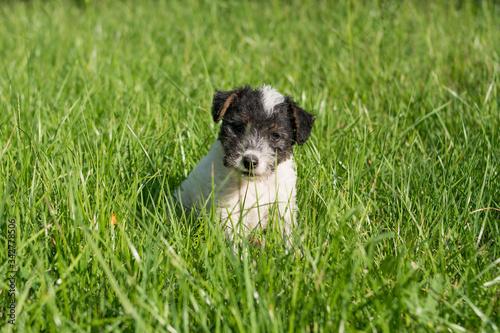 Obraz Puppy of awire fox terier in the backyard - fototapety do salonu