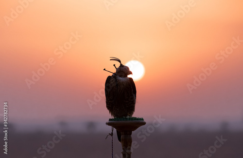 Photo Saker falcon with her eyes covered sitting on a perch in desert in front of a sunrise