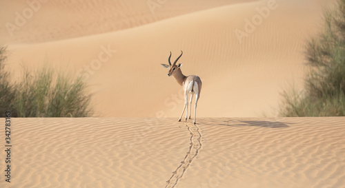 A single gazelle stallion walking over sand dunes.