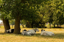 Black And White Cows Resting In The Shadow Under The Trees On A Hot Summer Day In West Flanders, Belgium