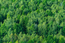 Green Carpet Of Coniferous For...