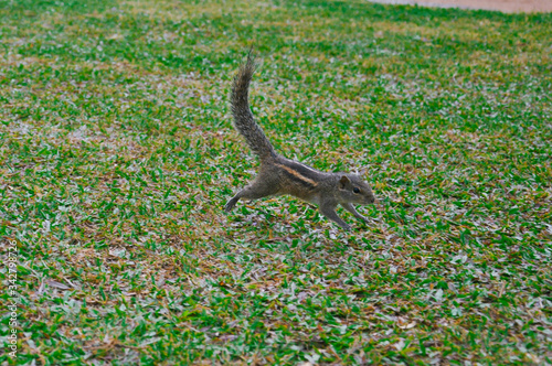 Funny Indian palm squirrel runs skipping in the green grass turned its fluffy tail up.