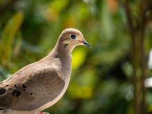 Mourning Dove Looking Around