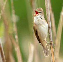 Great Reed Warbler Singing On A Reed