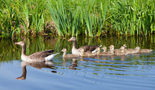 Goose Family In Water Of Canal...