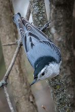 Nuthatch In A Tree