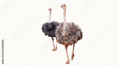 Fotomural Clipping path of ostrich