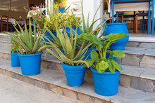 Aloe Growing In Blue Pots, Gre...