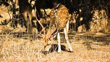 Deer At Gir Nationl Reserve