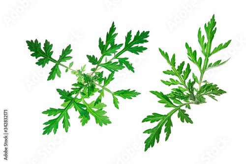 Common mugwort (Artemisia vulgaris) isolated against a white background Canvas Print