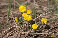 Yellow Coltsfoot Flowers