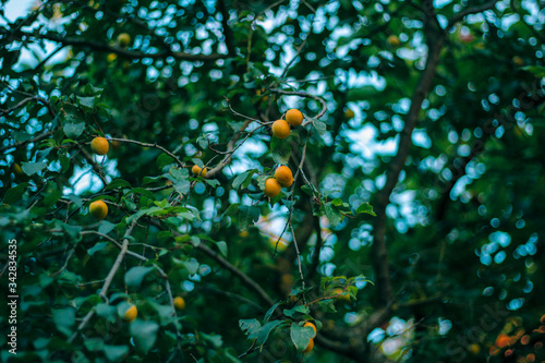 Fotografie, Tablou Abundance of yellow plums on leafy branches against the blue sky