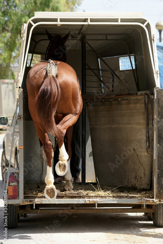 Anglo Arab horse getting on the van to be transported Canvas Print