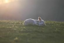 Lamb Sleeping On Grassy Field During Sunset