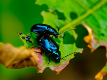 Two Dogbane Beetles Close Together On A Green Leaf