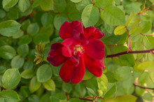 Beautiful Deep Red Rose In Ful...