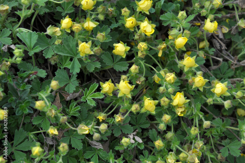 Photo In nature grows potentilla