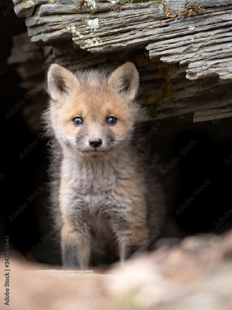 Fototapeta Red fox kit