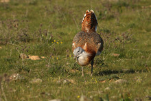 Male Of Great Bustard Photographed At First Light Of Day, Bustard, Birds, Otis Tarda