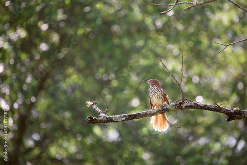 Photo Brown Thrasher backlight