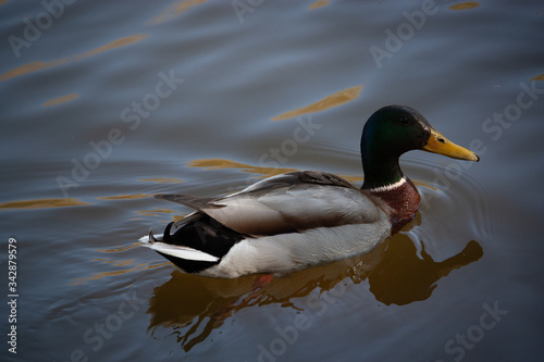 Photo duck on the water